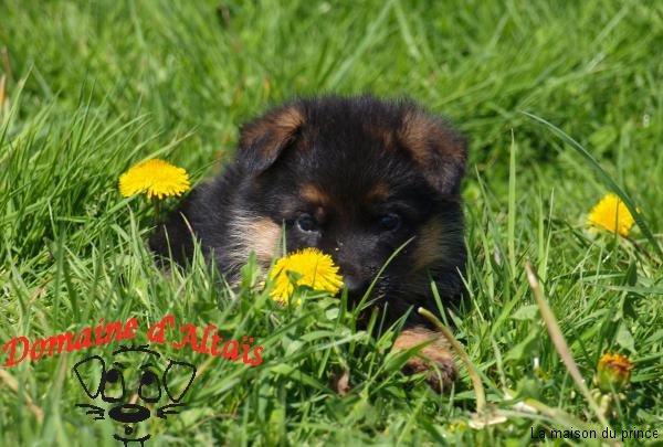 chiot berger allemand