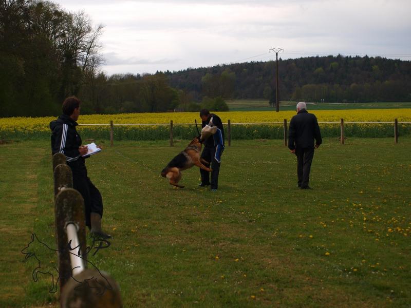 Iki de la maison du prince, concours Korüng SCBA berger allemand